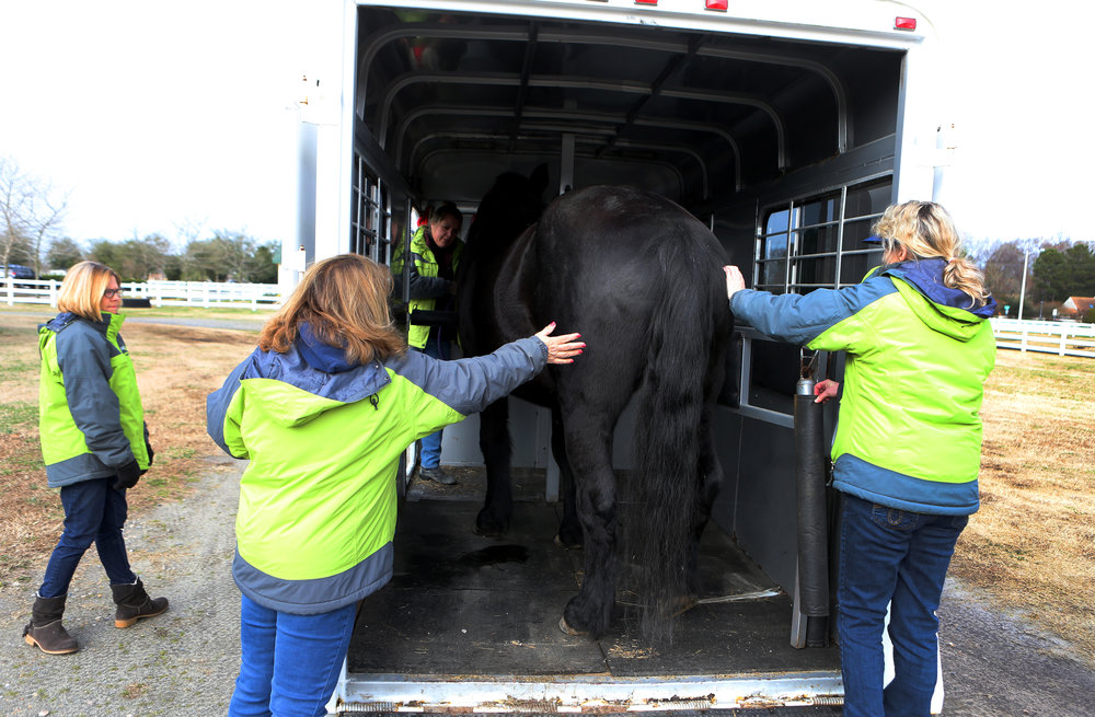 "EquiKids staff members load ""Sadie"" onto the trailer that will transport her to her new home, Tuesday, Dec. 20, 2016 in Virginia Beach."