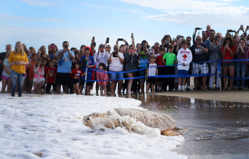 Piglet, a 200lb sub-adult loggerhead sea turtle, who was found and brought to shore by members of the public near the Little Island Pier in Sandbridge on September 17, 2016, makes its way back into the ocean, Saturday, Oct. 28, 2017 in Virginia Beach.