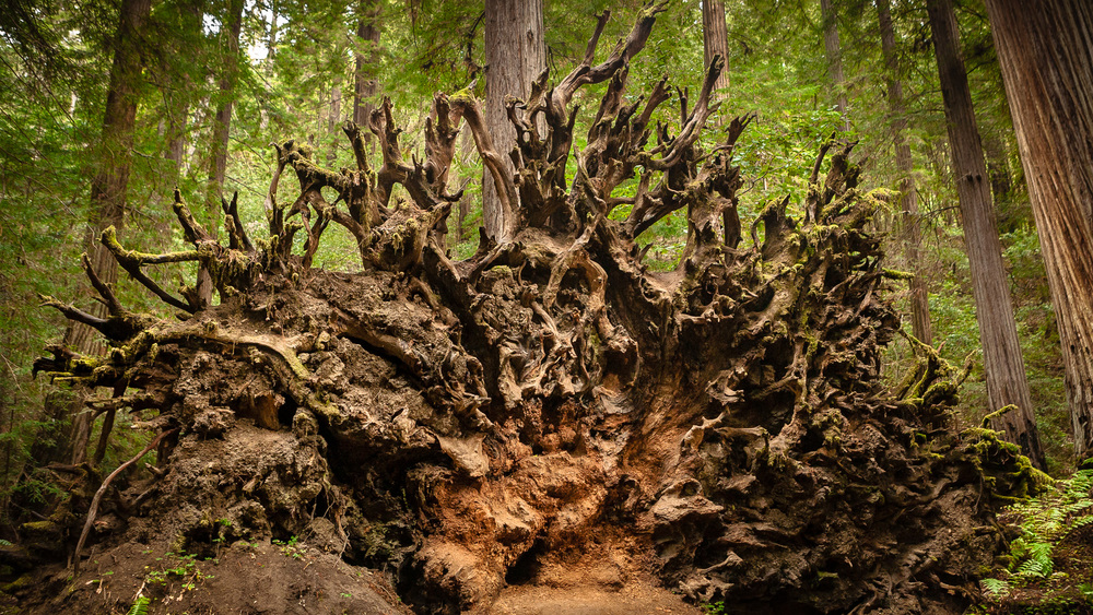 Dramatic Root Structure of a Fallen Redwood