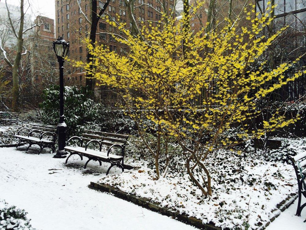 Forsythia bush blooming in Tudor City's North Park