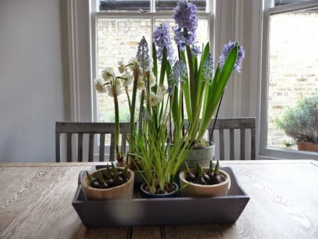 These bulbs on the kitchen table (in an earlier blog) are doing well after two weeks!