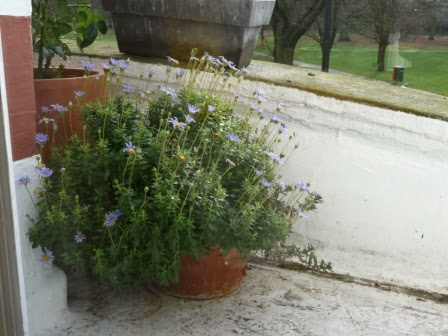 These gorgeous Blue Daisies (Felicia amelloides 'Variegata') have flowered all winter and are so pretty in this pot just outside the French door in the sitting room.