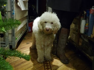 George the Labradoodle!