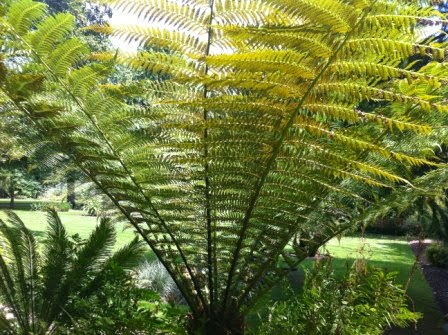 New Zealand native tree ferns (ponga)