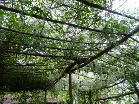 The canopy of white wisteria in one of the outdoor seating areas