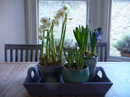 A tray of spring bulbs on the kitchen table, all of which remind me that spring is not far away.