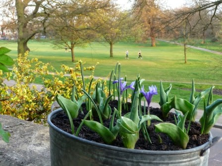 A tub of irises and tulips at the front