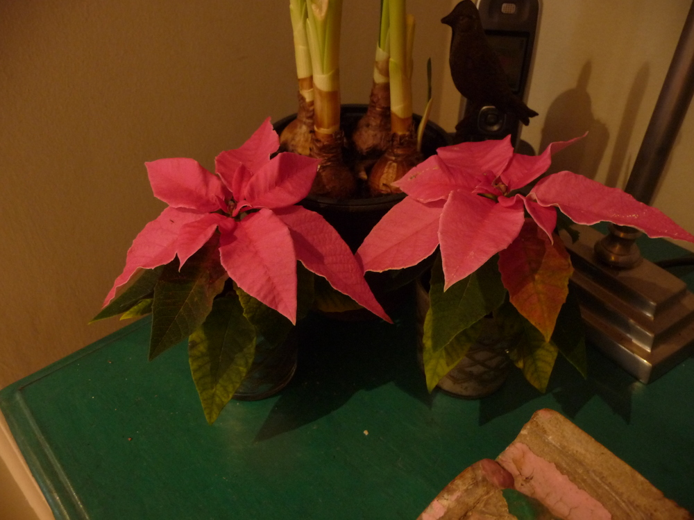 Tiny miniature pink poinsettia plants add a splash of colour