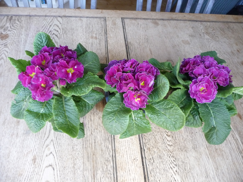 Three polyantus plants brighten up the kitchen table