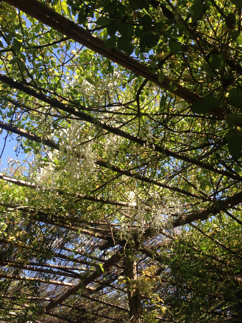 White wisteria over outside seating area at Petersham