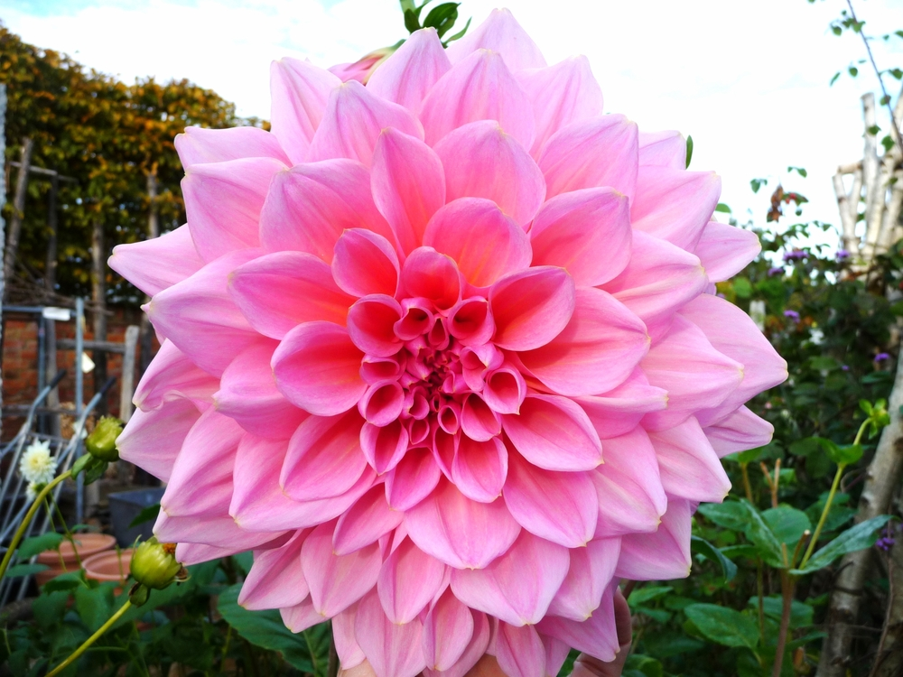 The most enormous dahlia flower in their gardens.
