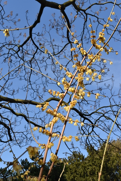 Wintersweet reaching for the sky