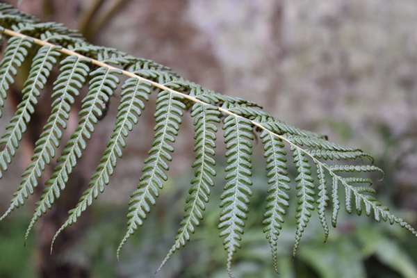 Native fern from my country (NZ)