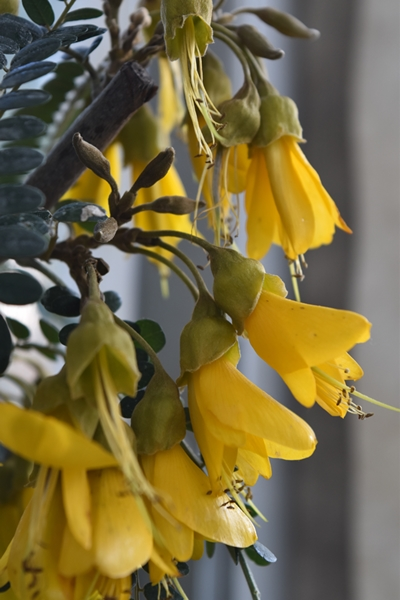 Kowhai (New Zealand native)