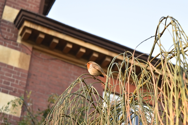 Friendly robins everywhere