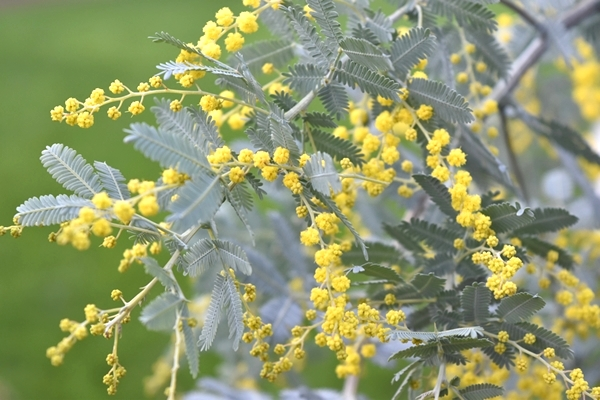 Mimosa (wattle to us Antipodeans!)