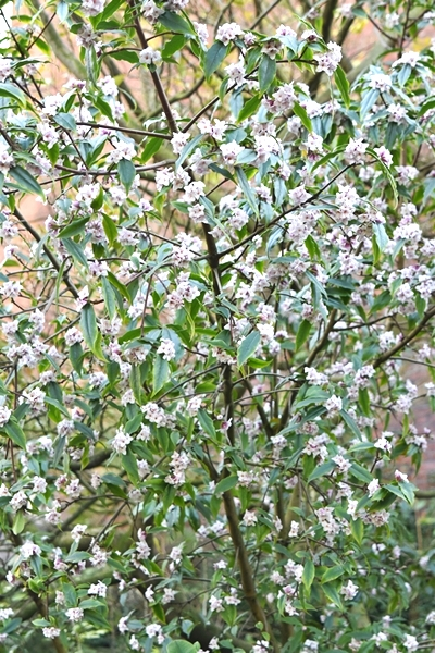 Just look at the mass of flowers on the Daphne bholua