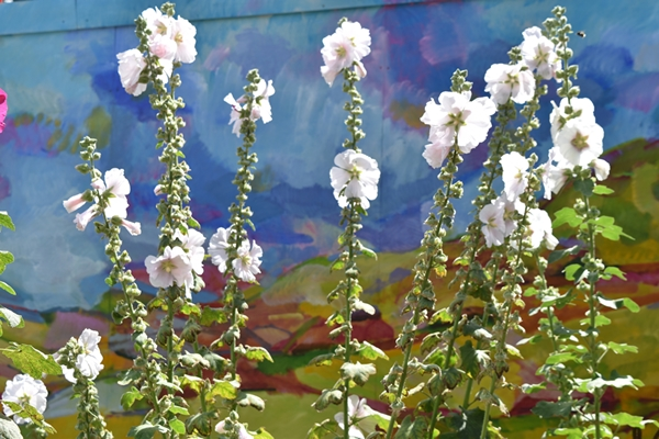 Even the hoardings by the shop are beautiful complemented by more hollyhocks