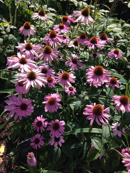 m_Echinacea (4).jpg
