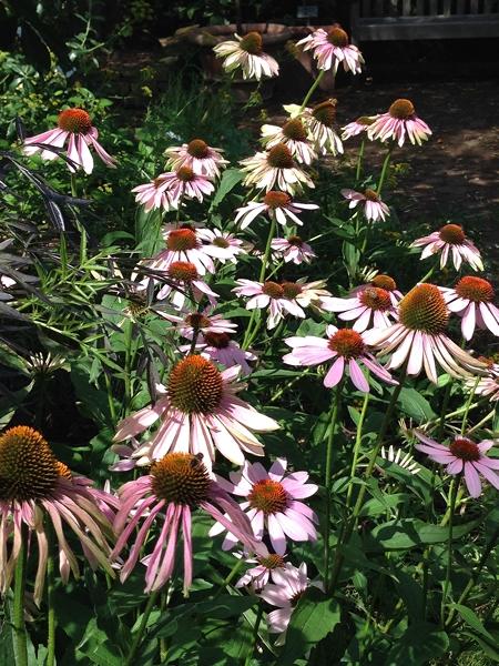 m_Echinacea (5).jpg