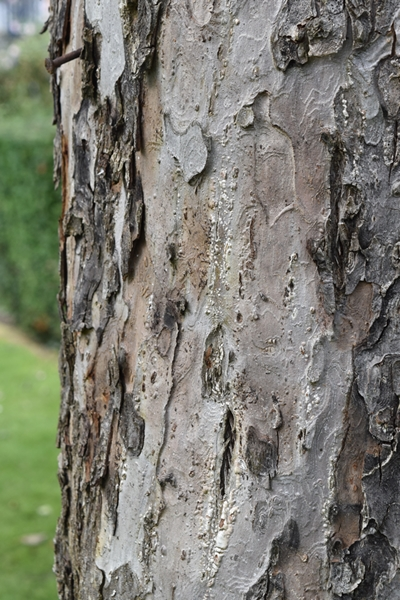 The bark of the old apple tree