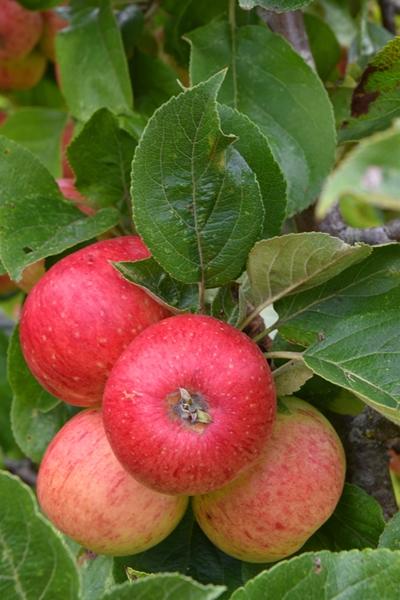 m_Orchard (10).jpg