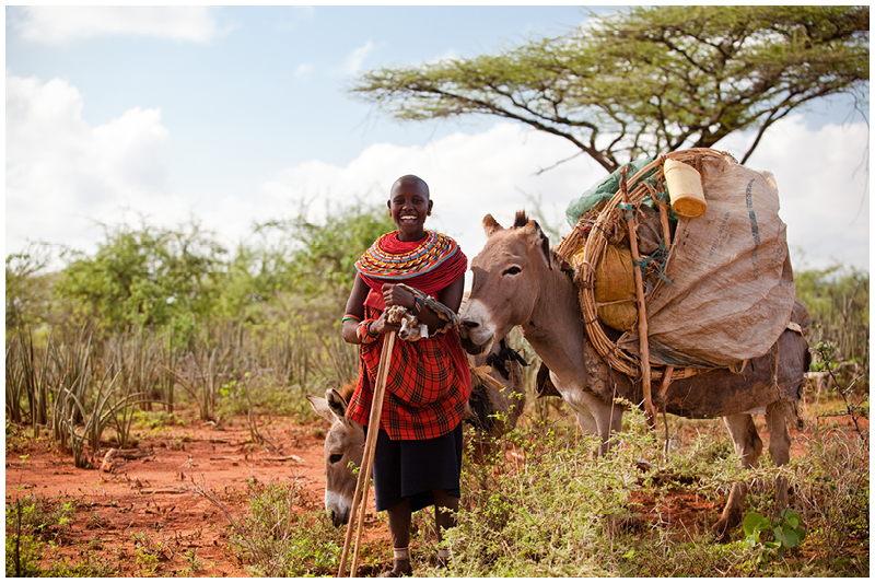 Samburu families are pastoralists and move with their flocks to follow the green grass. Their houses are suited to this lifestyle - small and easy to pack up and move on . These donkeys are carrying the family home and all their possessions on it their backs.