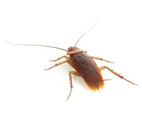 german-cockroach2.jpg