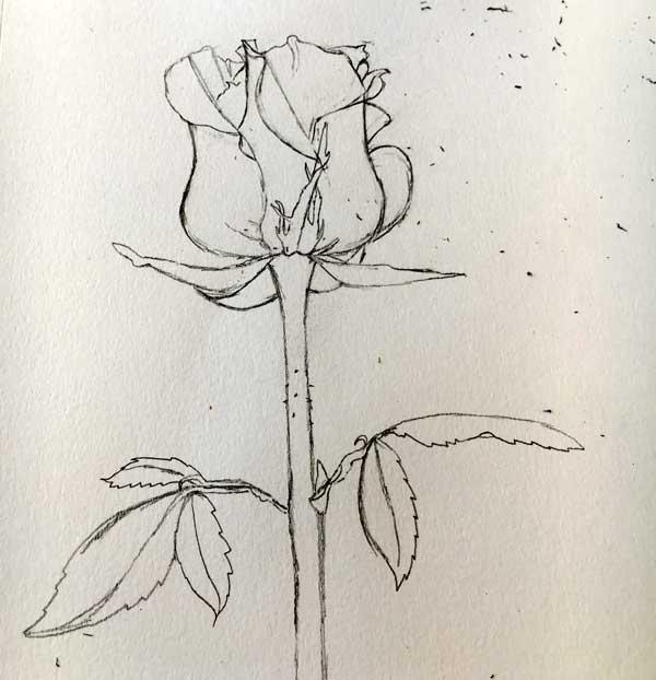 rose-5.jpg