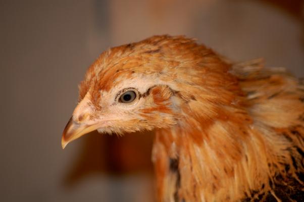 Chickencloseup