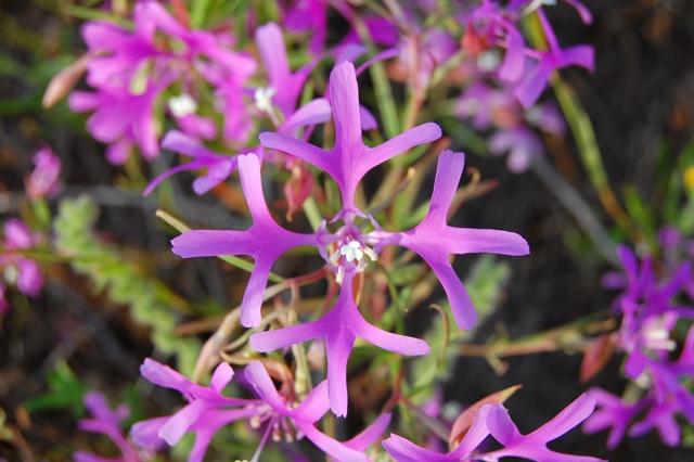 Clarkia Pulchella web