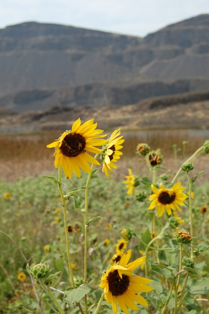 Sunflower coulee