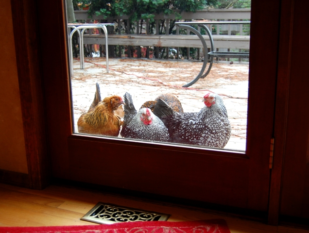 Chickenwindow