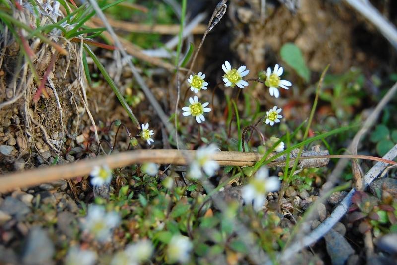Whitlowgrassweb