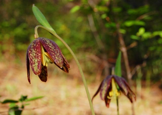 Fritillaria affinis 1 web