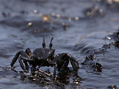 Oil-crab