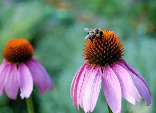 Purpleconeflowerbee