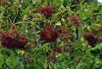 image from plants.usda.gov