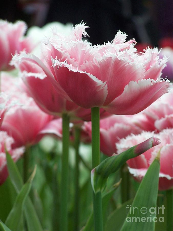 Fringed Tulip Photo by  Patricia Land