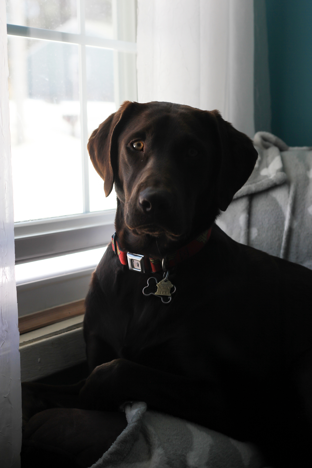 Holly, window patrolling. She very politely alerts me when cars pull up.