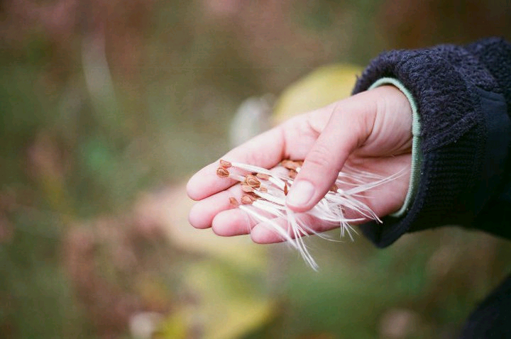 Milkweed seeds, Photo by Jan Hudson Krueger
