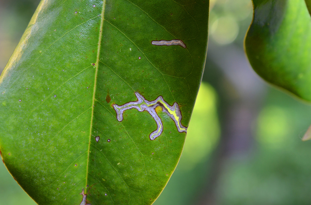 Leaf Micro sat.jpg