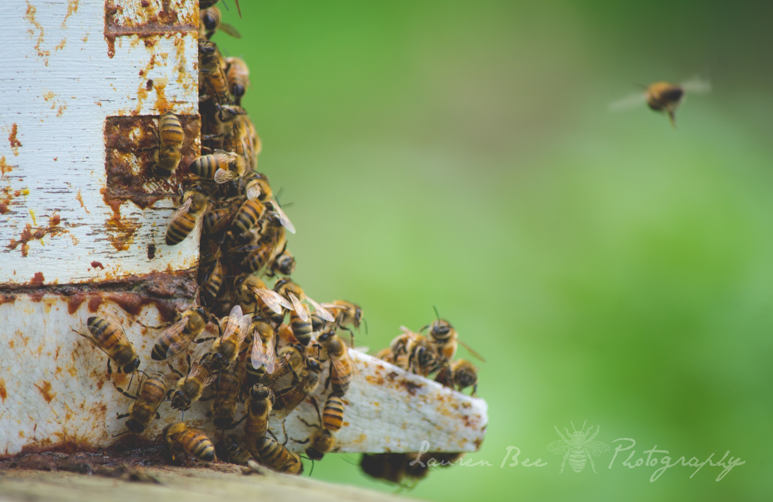 honey bees and their hive