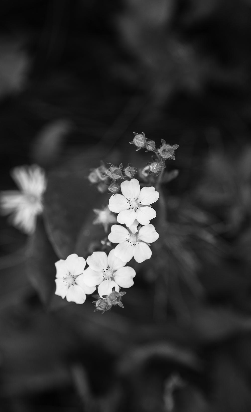 glacier flower.jpg