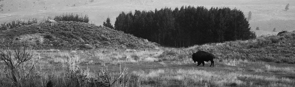 yellowstone bison.jpg