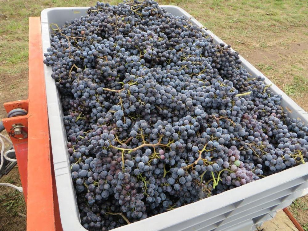Our Merlot just picked from the vines this 2014 harvest