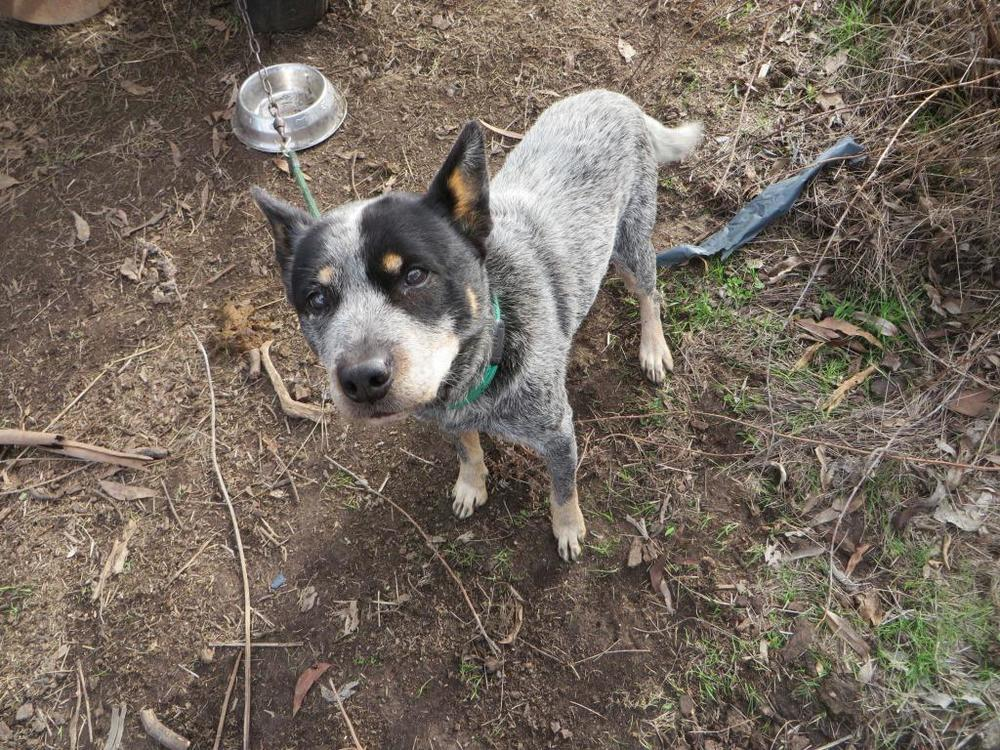 Luna, the Stray Blue Heeler