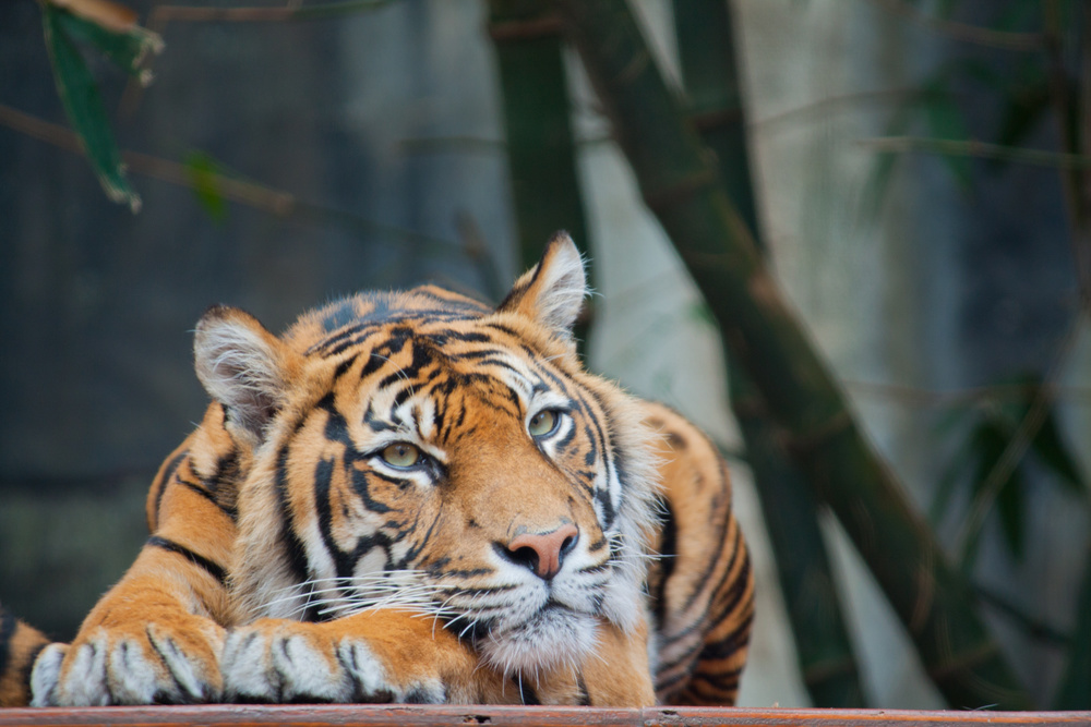 Ending Sumatran Tiger Extinction: Where Do We Begin? | Selva Beat