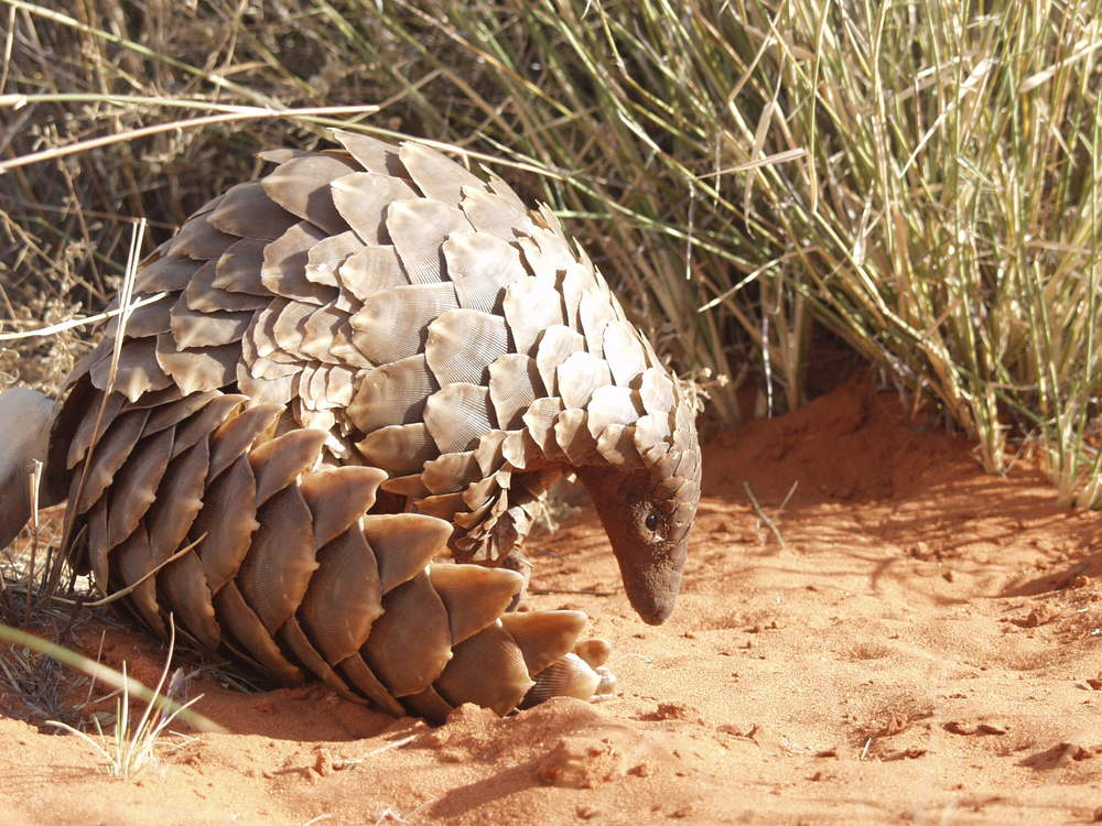 Source : Ray Jensen of the  African Working Pangolin Group