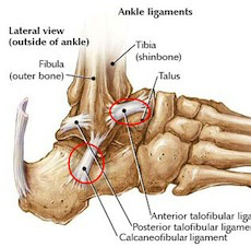 Fig 1.  The lateral ligament complex of the ankle